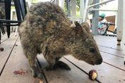Tendang Binatang Khas Australia, Pria Ini Didenda Rp 40 Juta