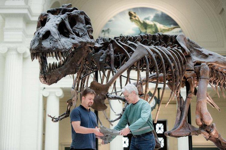 Pete Makovicky dan Bill Simpson menggunakan gipsum gastralia untuk menunjukkan posisi tulang tersebut pada fosil Sue.