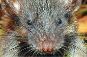 Masuk Daftar 10 Spesies Baru 2017, Inilah Keunikan Tikus Akar Sulawesi