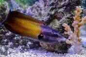 Ciuman Maut Ikan Wrasse untuk Dapatkan Makan