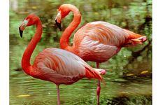 Terungkap, Alasan Flamingo Suka Berdiri dengan Satu Kaki
