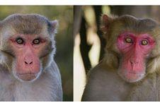 Di Antara Dua Monyet Ini, Mana yang Lebih Tampan?