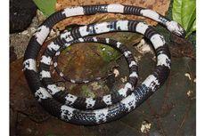 Bukti Kekayaan Nusantara, 2 Spesies Reptil Baru Ditemukan di Sumatra