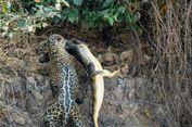 Jaguar Bertarung Melawan Buaya dan Inilah Predator Pemenangnya