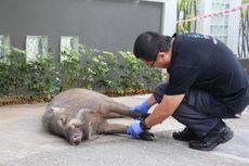 Sedang Berjalan di Tengah Kota Singapura, Pria Ini Diserang Babi Hutan