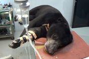 Luka Parah karena Jeratan Babi, Kaki Kanan Beruang Madu Diamputasi