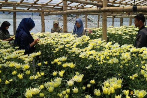 Kampung Krisan Clapar, Keindahan Kebun Bunga di Kaki Gunung Ungaran
