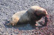 Pertama Kali Terlihat, Singa Laut Kanibal Kejutkan Peneliti