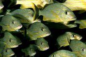 Perubahan Iklim Bikin Tubuh Ratusan Ikan Laut Menyusut
