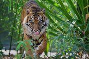 Kemiri, Harimau Sumatera di Adelaide Disuntik Mati