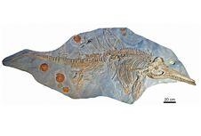 Fosil 'Naga Laut' Ditemukan di Antara Koleksi Museum Jerman
