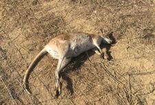 Dikecam, Pembunuhan Massal 'Kanguru Kecil' di Queensland