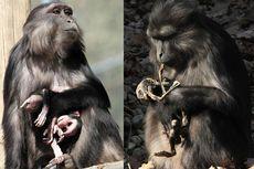 Berduka, Monyet Jambul Makan Mayat Anaknya Sendiri