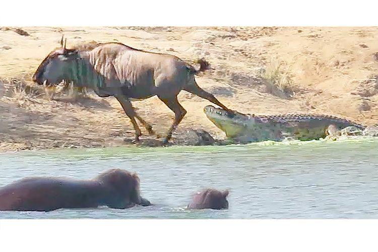 Sebuah video dari Kruger National Park menunjukan bagaimana dua kuda nil tiba-tiba menyerang buaya dan menyelamatkan wildebeest.