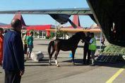 Dua Kuda Sandalwood untuk Jokowi Dikirim dengan Pesawat Hercules