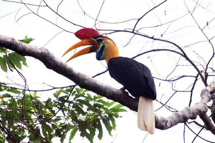 Burung Julang Sulawesi di Taman Nasional Bogani Nani Wartabone, salah satu daya tarik wisata di kawasan desa penyangga.