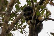 80 Tahun Menghilang, Monyet Berpotongan Mangkuk Tertangkap Kamera