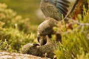 Beo Kea, Inilah Satu-satunya Burung yang Bisa Menularkan Kebahagiaan