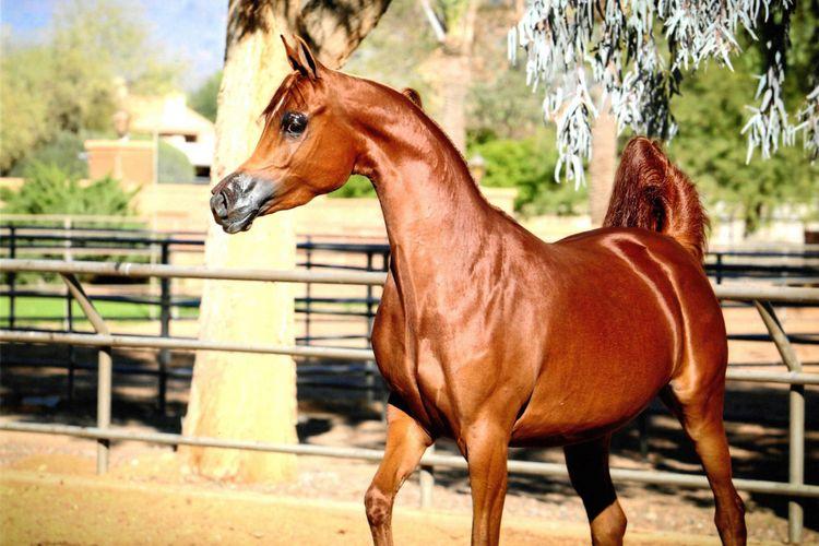 Salah satu kuda hasil pengembangbiakan di Orrion Farms, Washington, Amerika Serikat.