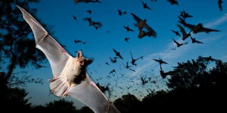 Migrasi kelelawar merupakan migrasi mamalia terbesar di Bumi dengan pengikut sampai jutaan ekor.