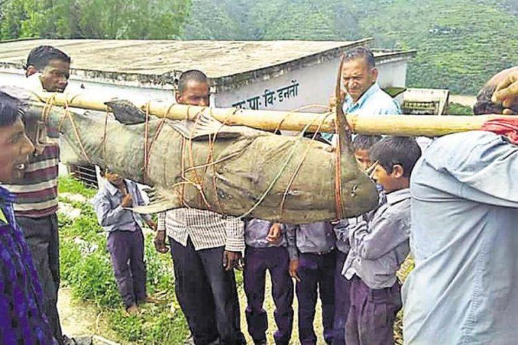 Warga desa mengangkut seekor ikan lele berbobot 125 kilogram yang mereka tangkap di sungai.