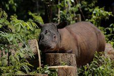 Kisah Badak Sumatera Berjuang dari Kepunahan Selama 10.000 Tahun