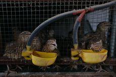 Beternak Burung Puyuh jadi Peluang Usaha yang Menggiurkan