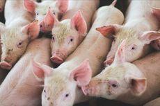 Rusia Ternyata Serius Ingin Ekspor Daging Babi ke Indonesia