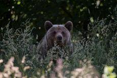 Romania Bakal Bunuh Ratusan Beruang dan Serigala