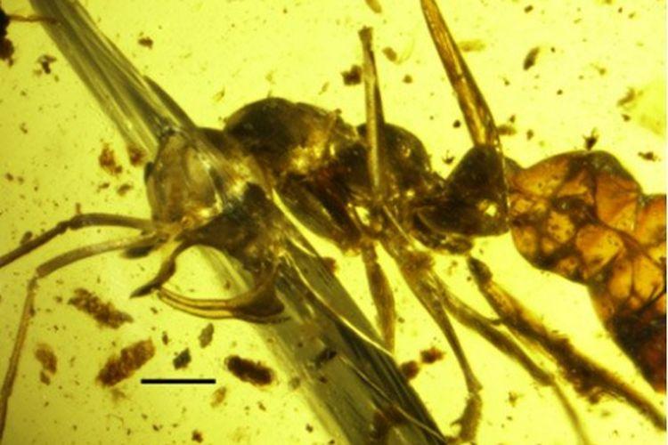 Semut Linguamyrmex vladi yang terperangkap dalam ambar