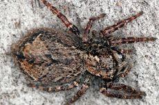 Bagi Betina Laba-laba Ini, Bercinta Cukup Sekali Seumur Hidup