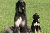 Snuppy, Anjing Kloning Pertama di Dunia, Dikloning Ulang dan Sukses