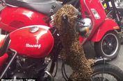 Gerombolan Lebah Datang ke Sydney dan Bersarang di Stang Sepeda Motor