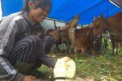 Evakuasi Ternak Pengungsi Gunung Agung Dipercepat