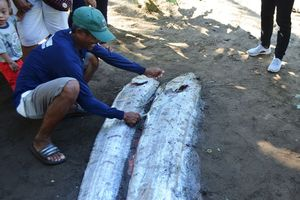 Mengapa 'Monster Laut' Ini Sering Terdampar Menjelang Gempa?