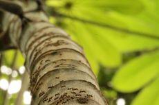 Kisah Nyata Persahabatan Semut dan Pohon dari Panama