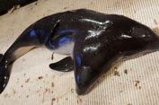 Pertama Kali, Nelayan Temukan Ikan Porpoise Berkepala Dua