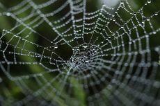 Peneliti Ini Bermimpi Sulap Laba-laba Jadi Pabrik Material Terkuat