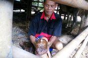 Anak Sapi Terlahir dengan Mata Tiga Hebohkan Warga di Wonogiri