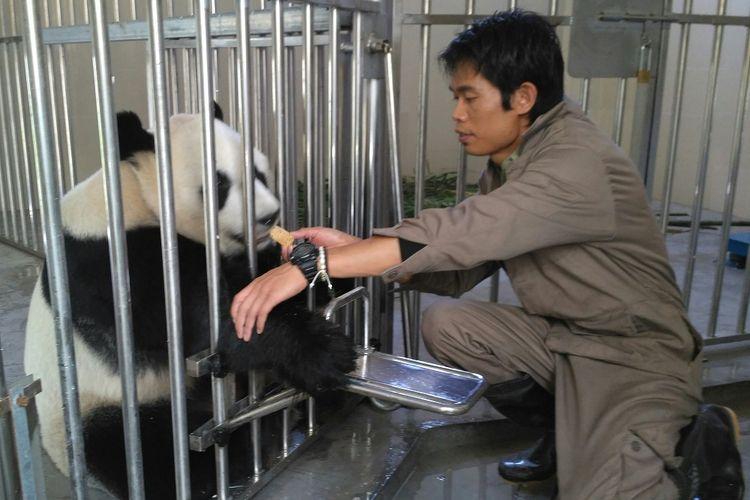 Suwanto, keeper panda dari Taman Safari Indonesia sedang memberi makan cake kepada Hu Chun salah satu panda yang akan dikirim ke Indonesia, di Wolong Panda Base, Senin (25/9/2017).