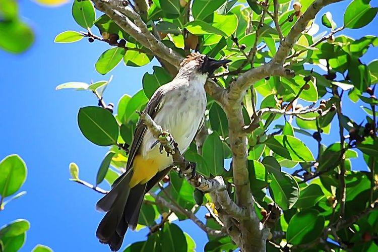 Seekor burung kutilang di alam. Burung ini banyak dipelihara masyarakat karena kicauan suaranya