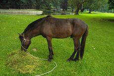 Jokowi Laporkan Dua Kuda Senilai Rp 70 Juta Pemberian Warga Sumba ke KPK