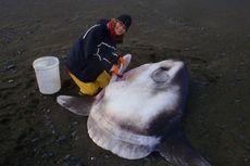 Spesies Ikan Baru Ditemukan, Beratnya sampai 2 Ton