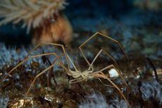 Jantung Macet, Laba-laba Ini Pakai Usus sebagai Gantinya