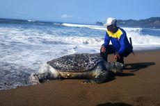 Penyu Betina Ditemukan Mati Penuh Mata Pancing di Pantai Kili-kili