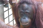 Orangutan Terus Jadi Korban, Pebisnis Sawit Wajib Taat Aturan!