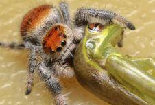 Langka, Laba-laba Ini Makan Kadal yang 3 Kali Lebih Besar dari Dirinya
