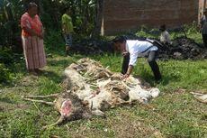 17 Ekor Kambing di Malang Mati Diserang Binatang Buas