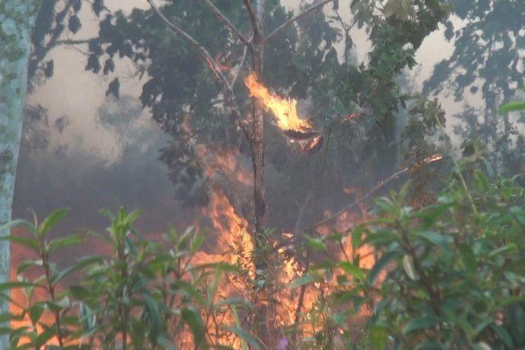 Daun pada tanaman karet milik warga di Desa Kayuara Batu Muraenim ampak terbakar terkena dampak dari kebakaran lahan hari ini