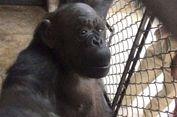 Simpanse di India Akan Rayakan Ulang Tahun ke-57